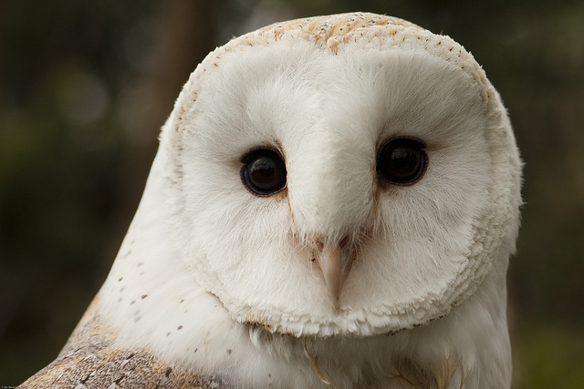 animal-eyes-owl-white-owl-Favim.com-196178.jpg