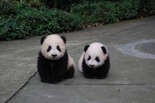animals, babies, baby, bears, black, cute, panda, white