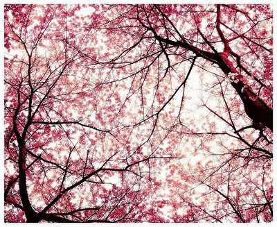 arbol, beautiful, flor, flor del cerezo, sakura, tree