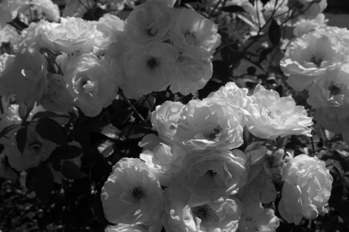 b&w, black and white, flower, flowers, photography