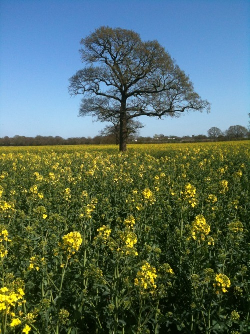beautiful, blue, countryside, england, field, flowers, green, insearchofcharm, light, nature, peaceful, photography, pretty, sky, summer, sunny, tree, yellow