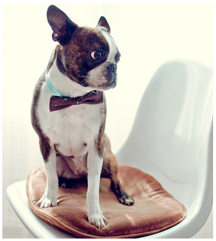 boston terrier, bow tie, dog, hipster, hipster puppies