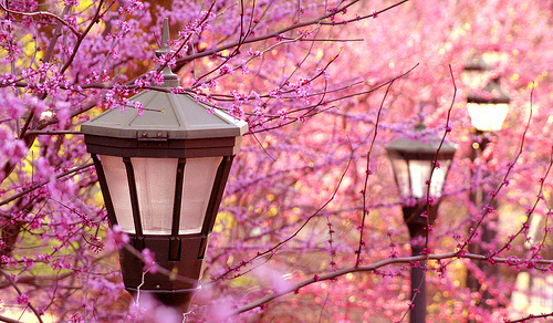 cherry blossom, japan, lanterns, sakura