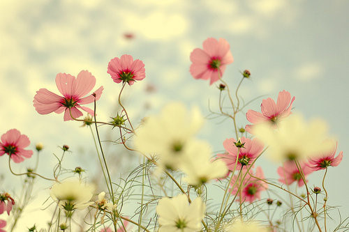 flowers, love, pink, pretty, white