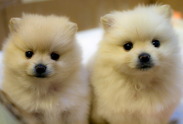 adorable, animal, cute, pomeranian, puppy