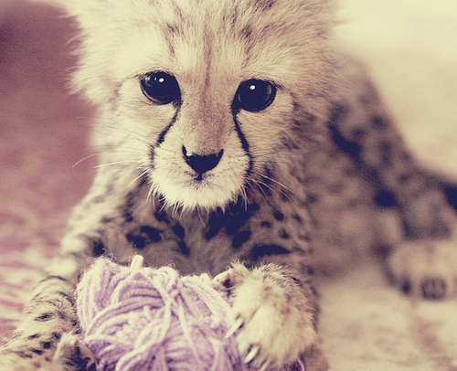 cute baby cheetahs tumblr