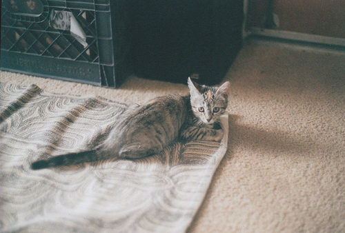 animal, beautiful, cat, cute, floor, grey, grey cat, inside, kitten, kitty, lovely, pet, pretty, room, sweet