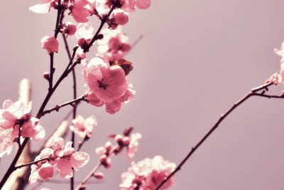 awesome, blossom, cherry blossom, flowers, nature