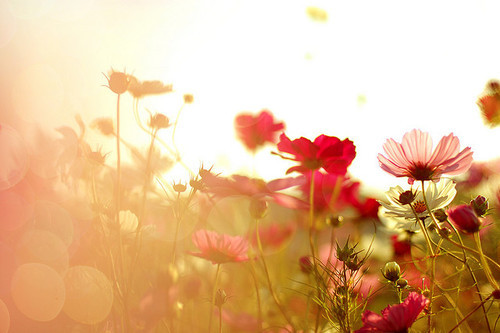 beautiful, colors, field, flowers, landscape, light, nature, photography, pink, sun, sunshine