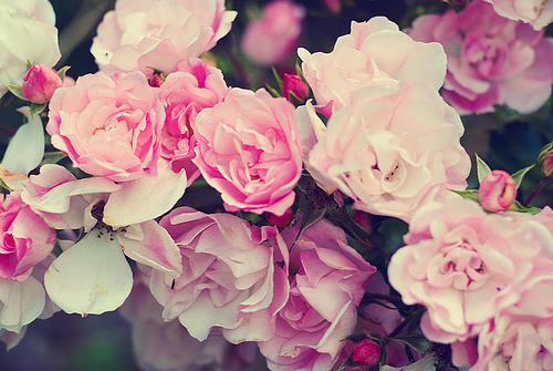 beautiful, colour, floral, flowers, i love flowers, pink, pretty, roses, the one my first