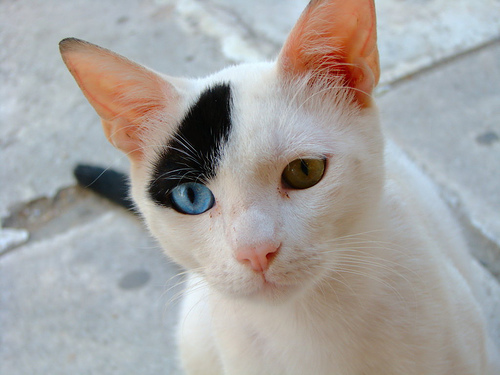 blue eyes, cat, cute, david bowie, eyes, green eyes, hehe, heterochromia, omg, photography, the one my first