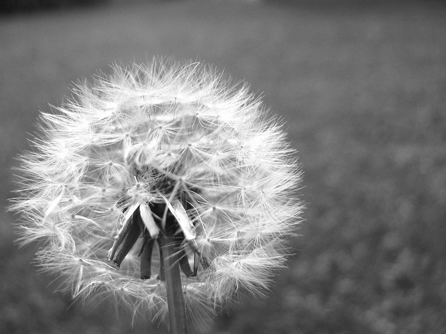 dandelion, flower, nature, photography, pretty