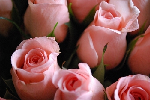 flower, flowers, pink, pretty, rose