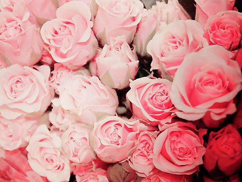 flowers, pink, roses