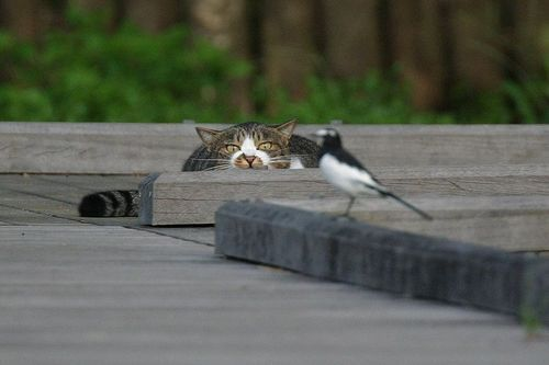 aaw, bird, cat, cute, hunting