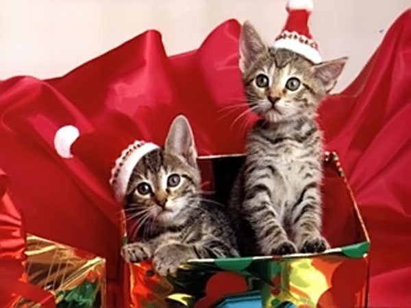 http://s1.favim.com/orig/2/animal-cat-cats-christmas-christmas-cat-Favim.com-152460.jpg