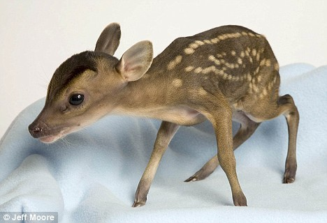 baby, bambi, cute, deer, tiny