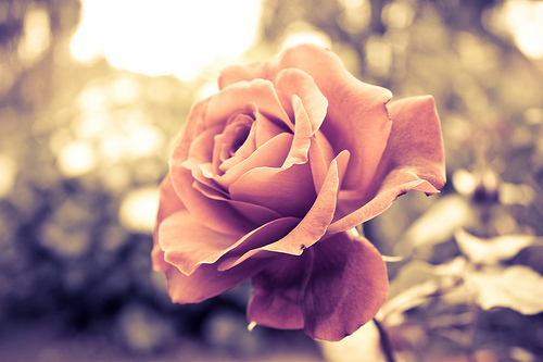 beautiful, light, rose
