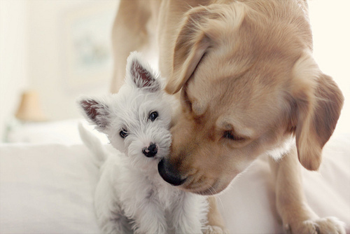 adorable, animals, dogs, friends, labrador, puppy, white