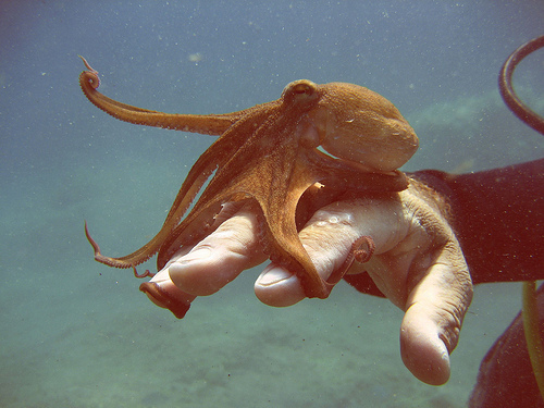 animal, beautiful, cute, hand, ocean, octopus, photography, pretty, scuba, sea life, under water, underwater, vintage