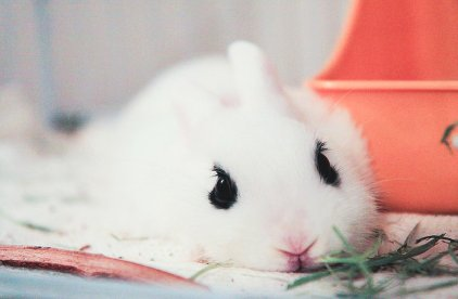 baby bunny, baby rabbit, bunny, cute, dwarf bunny, dwarf hotot, happy, lovely, rabbit, sad, tiny