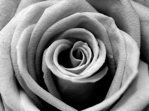 black and white, close up, flower, rose