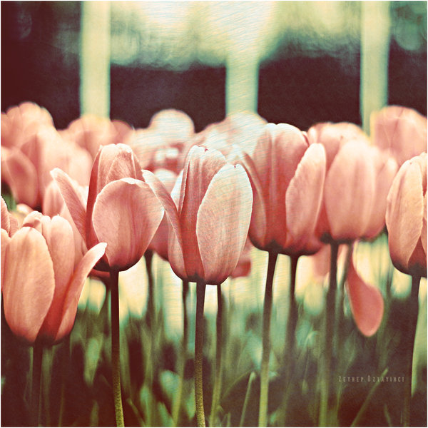 flower, flowers, gift, nature, photography, pink, vintage
