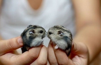 adorable, animals, cute, fur, gray, hamster, hands, kiss, light, love, photography, twins
