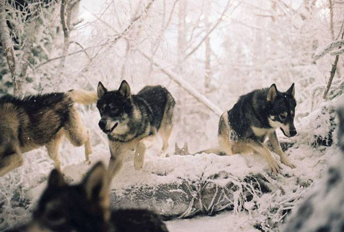 animal, animals, art, nature, photo, photography, pretty, snow, winter, wolf, wolves