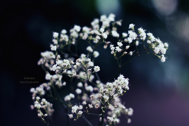 babies breath, beautiful, bokeh, delicate, flower