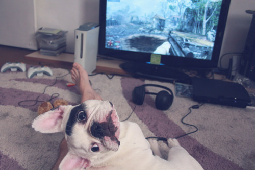 beto, beto siqueira, cute, cute dog, dog, french buldogue, french bulldog, geek, lola, nerd, nerds, pc siqueira, playstation, siqueira