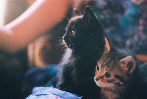 adorable, animals, black, brown, cat