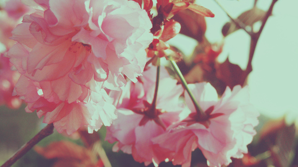 blossom, cherry blossom, flower, flowers, nature, pink, spring, vintage