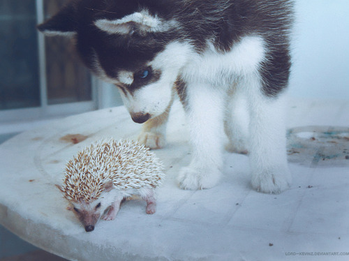 cute, dog, eyes, hedgehog, porcupine
