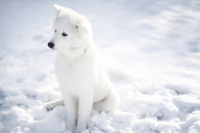 cute, dog, husky siberiano, pretty, snow