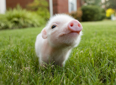 cute, grass, pig, piggy, summer