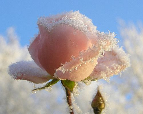 adorable, beautiful, cold, cute, flower, flowers, frost, kaleidoscope, nature, photography, pink, pretty, rose, secret, snow, snowflakes, winter, xoxo