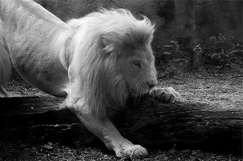 animal, black and white, fairytale, lion, tree