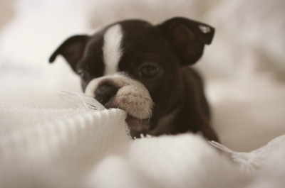 boston terrier, cute, dog, love, nerds