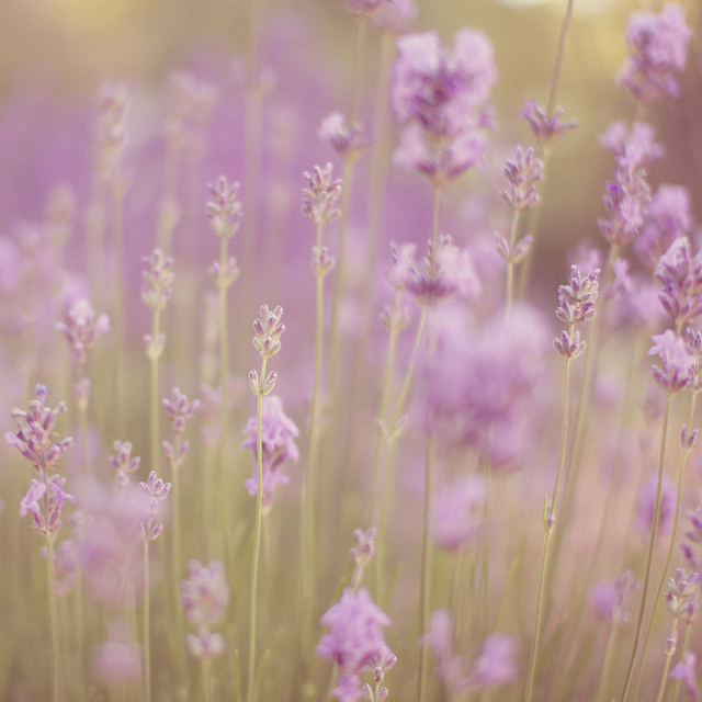 field, flowers, lilac, nature, purple