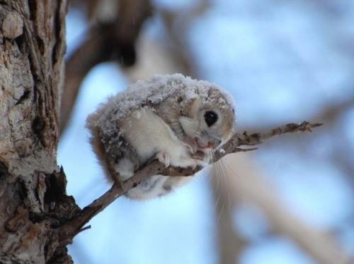 animal, branch, curled up, cute, momonga