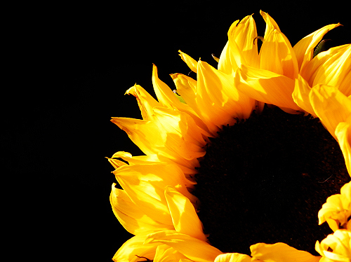 black, flower, pretty, sunflower, yellow