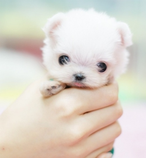 adorable, bokeh, cute, filhote, little, pet, puppy, tiny dog