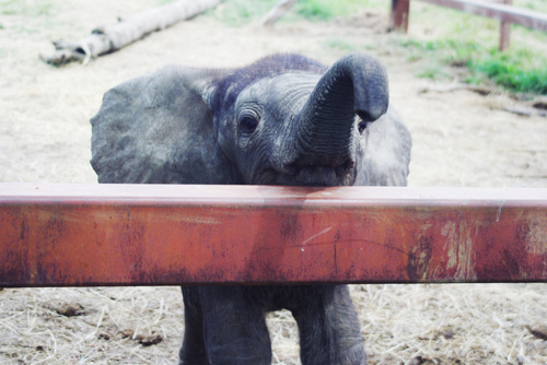 adorable, baby elephant, cute, elephant