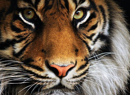 animal, animals, babiilov3, rawr :), tiger, wild