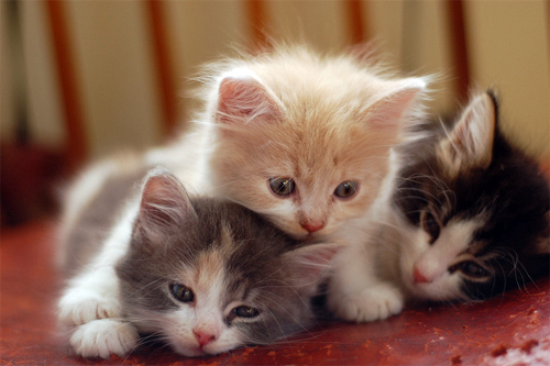 animal, babies, beautiful, cat, cats, cute, fluffy, kittens