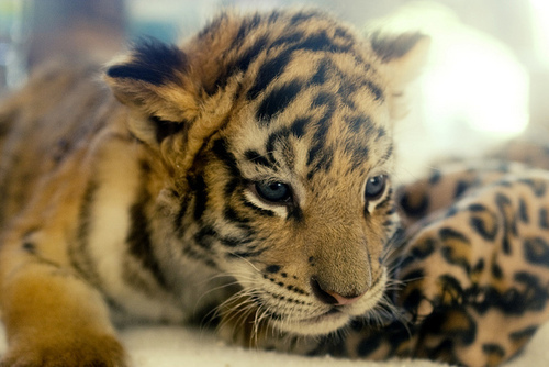 baby tiger, cute, eyes, tiger