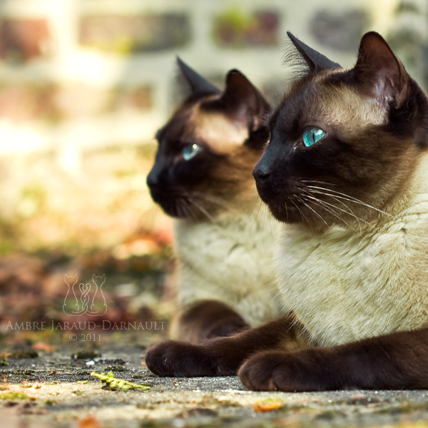 blue eyes, cat, cats, feline, gato, siamese