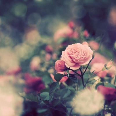 color infusion, cute, fashion, flowers, girl, photography, pink, pink roses, pink soft, pretty, style