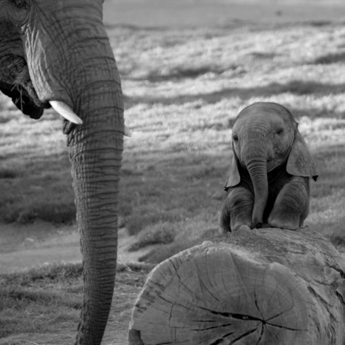 adorable, animal, animals, cute, elephant